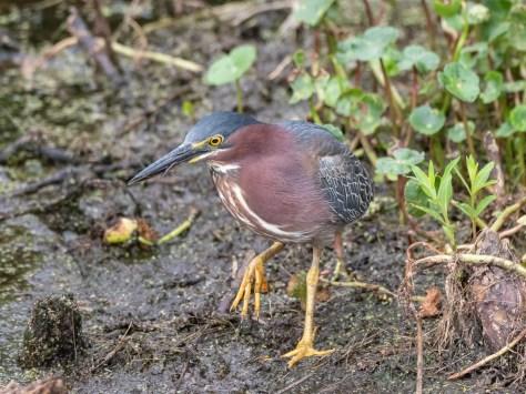 Edge Of A Marsh, Green Heron