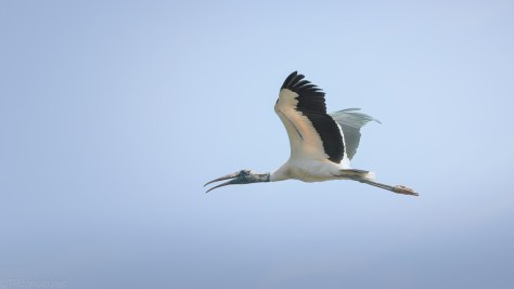 Stork, Over Old Rice Field