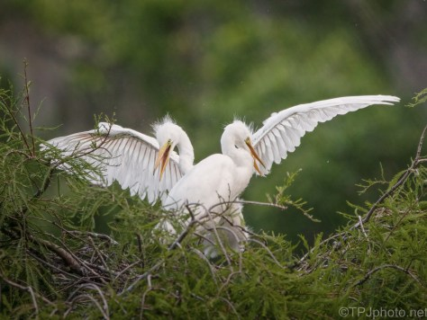 A few More Youngsters, Egrets
