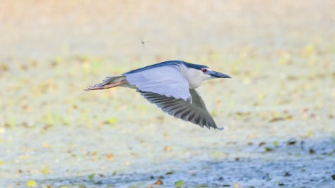 Night Heron With A Surprise Guest