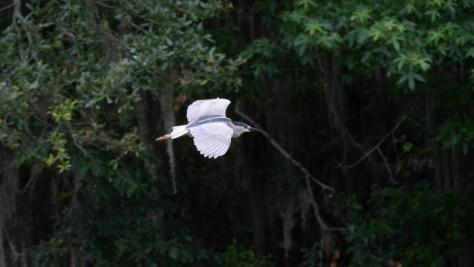 Making An Escape, Night Heron