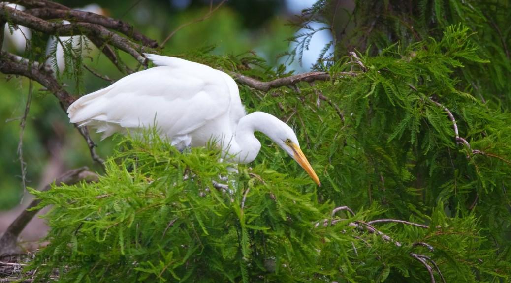 Great Egret In A Cypress Tree