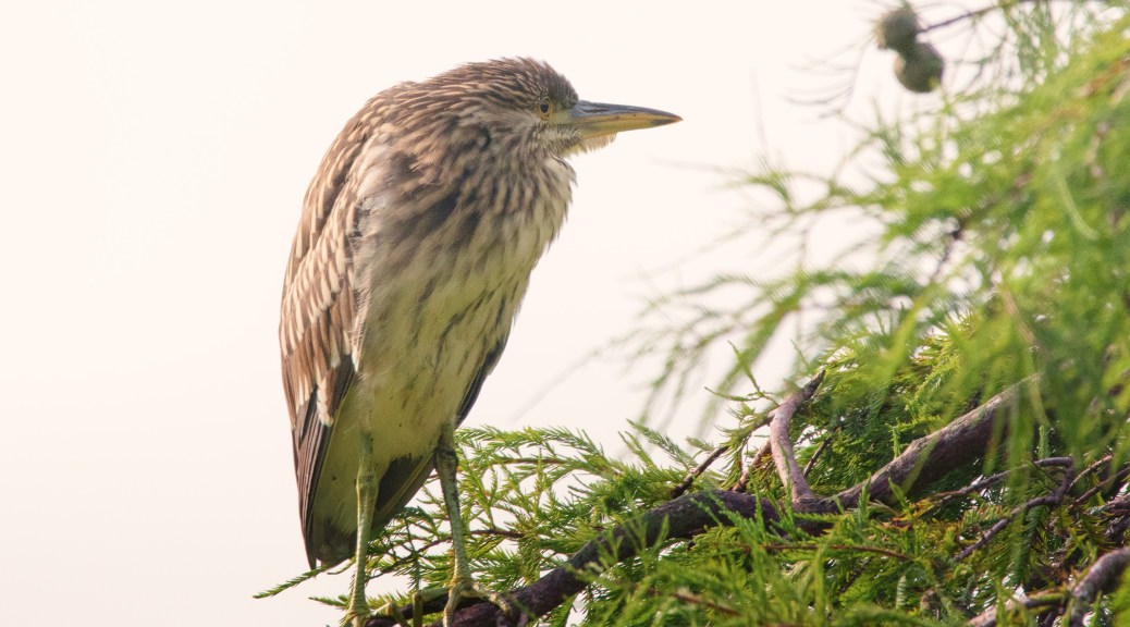 Another Morning Shot, Young Heron