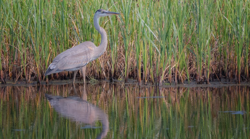 Young Great Blue