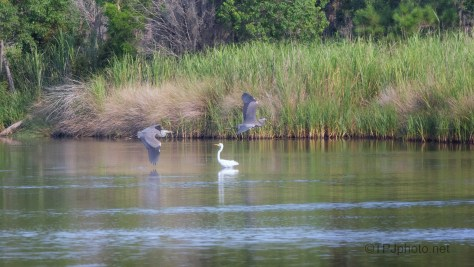 Another Chase, Great Blue Herons