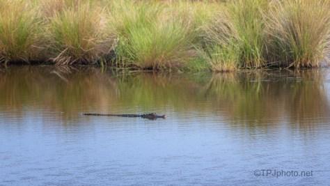 Marsh Alligator