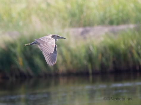 Little Blue Became A Night Heron