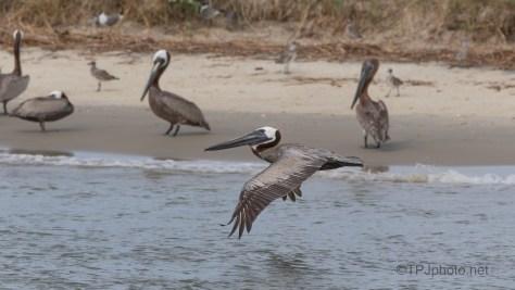 In Flight, Brown Pelican