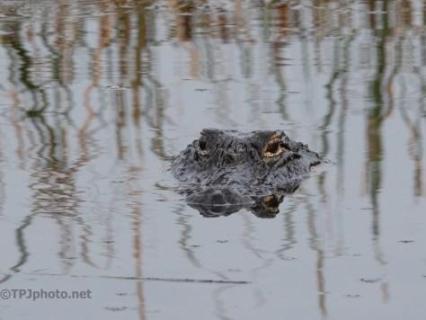 I took His Spot, Alligator