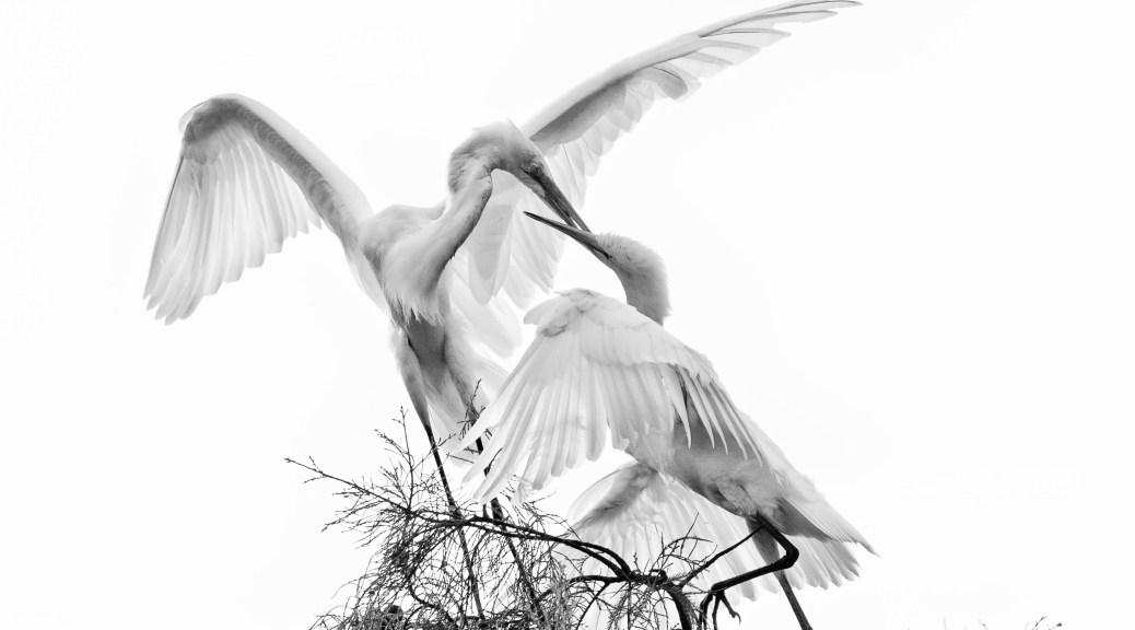 B&W High Key, Egrets