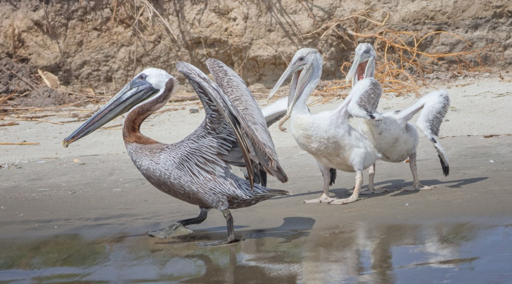 Family Portrait, Brown Pelican