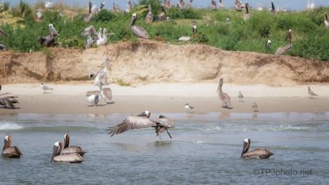 Take Off, Pelican