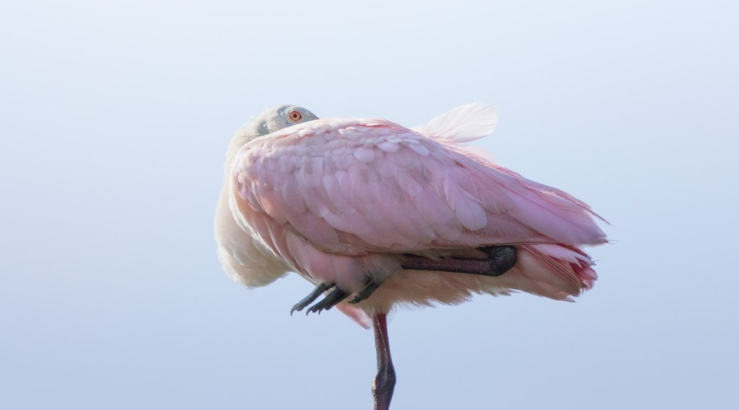 Looking Over The Rice Fields, Spoonbill