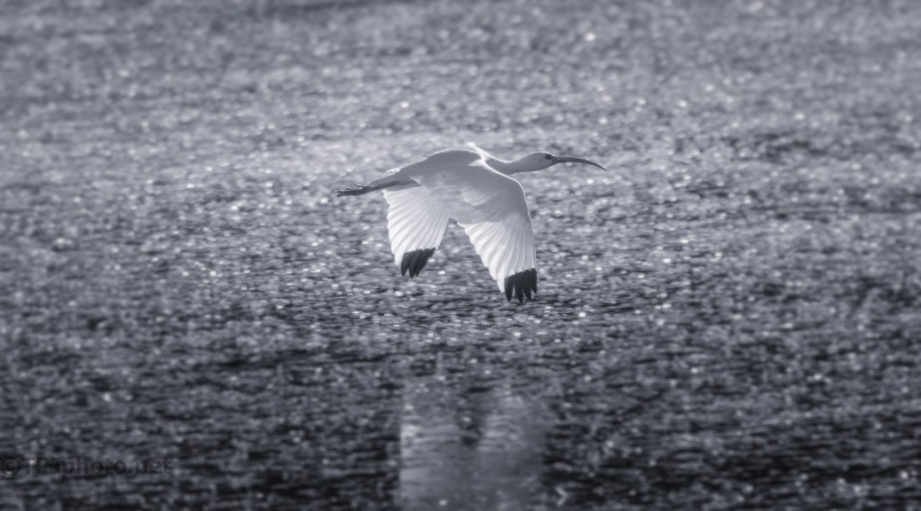 Ibis Over A Pond, Black And White