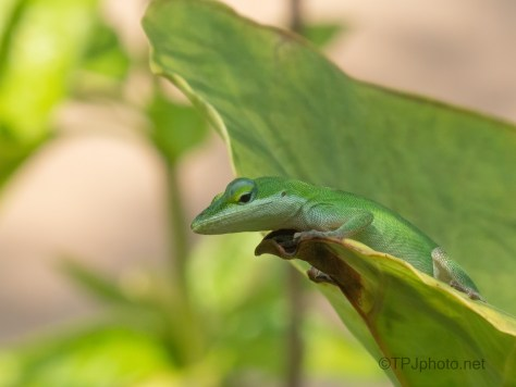 Tiny Monster (1), Anole