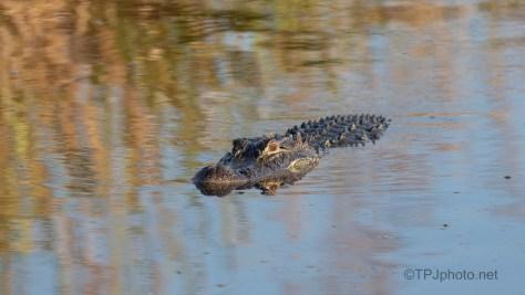 Big Crab Gator Coming Over