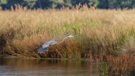 Great Blue Flying Past Marsh Grasses