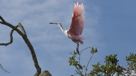 Spoonbill Showing Off