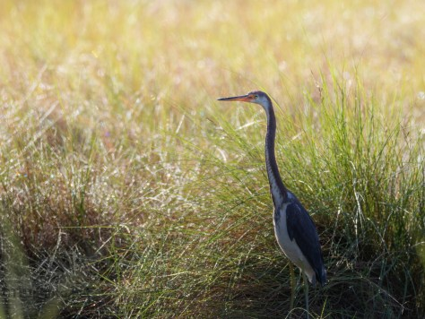 Tricolored Heron In The Wet Grass