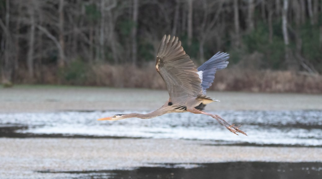 Low Flying Great Blue