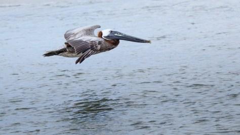 Low Flying Brown Pelican