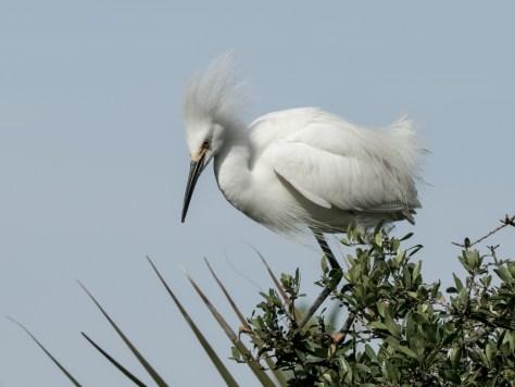 Snowy Egret Attitude