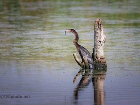 Anhinga, A Small Fish