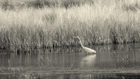 Sepia Great Egret