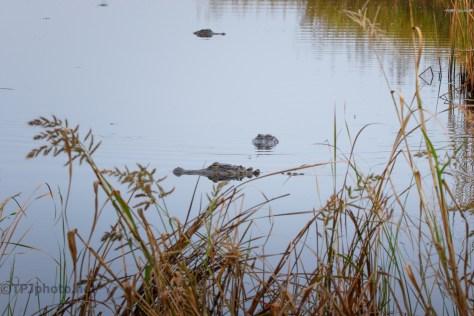 New Friend - Maybe , Alligator