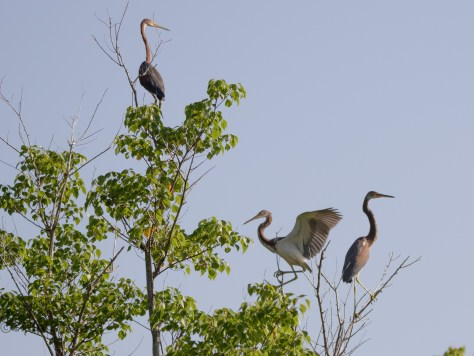 Flock Of Tricolored Herons