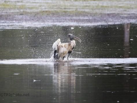 It's Bath Night, Wood Stork