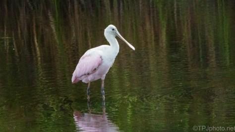 Getting Pink, Spoonbill