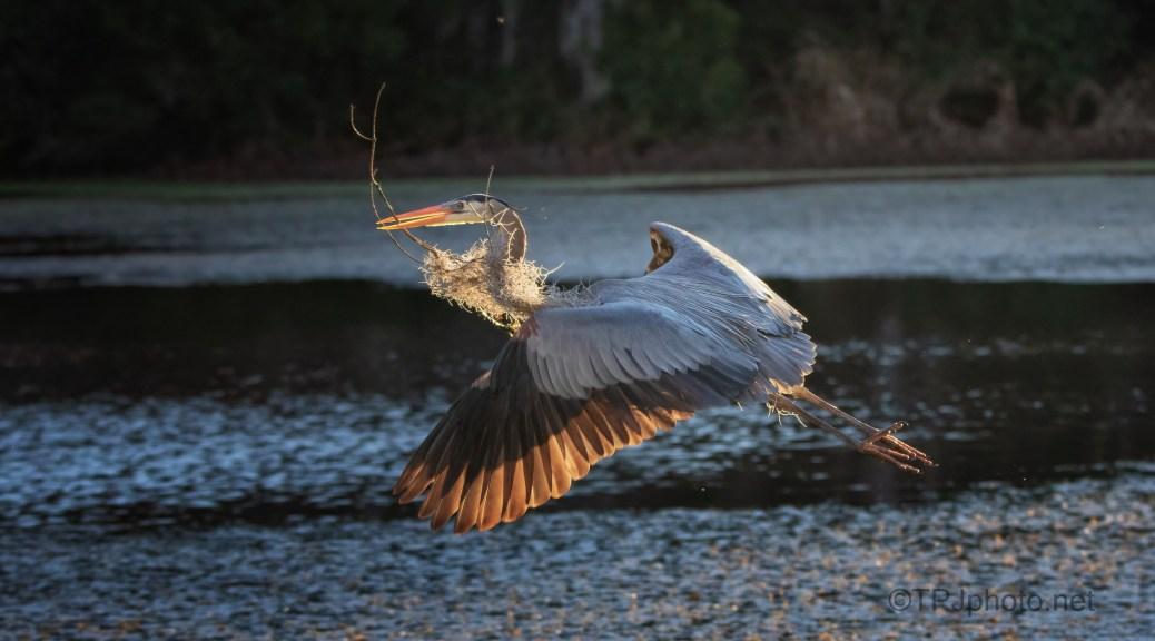 Sunset Great Blue Heron
