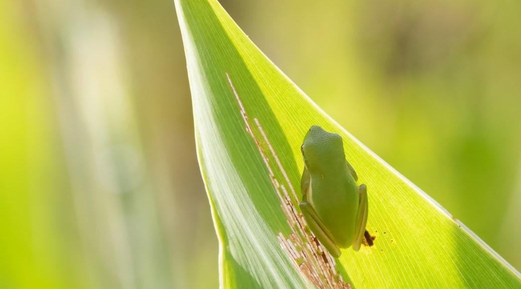 On The Tip Of A Leaf, Frog