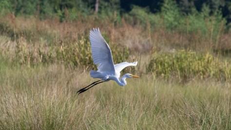 Great Egret, Marsh Grass
