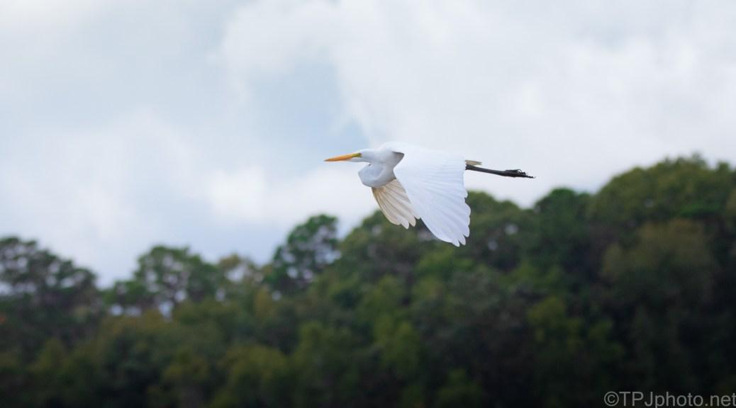 The Rain Held Off, Great Egret