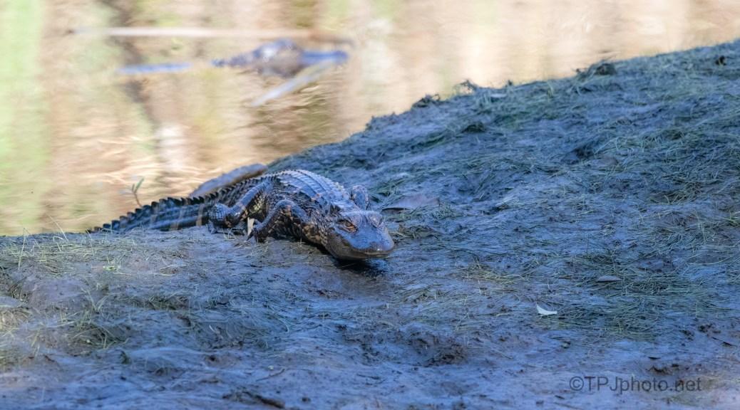 Creeping In, Alligator