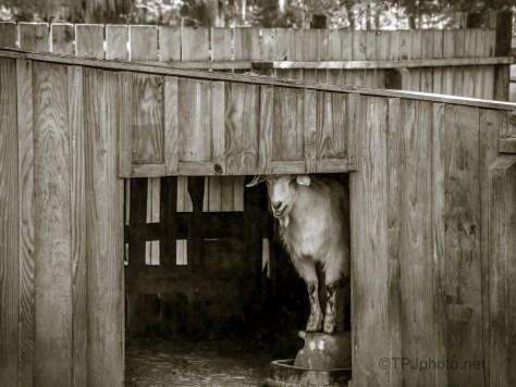 The Cranky Goat