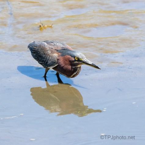 Eye Reflections In The Mud, Green Heron