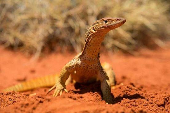 Australian Goanna - Picture downloaded from Internet
