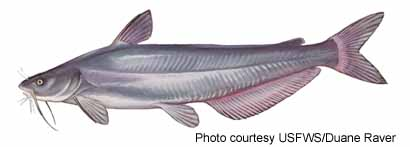 Image result for blue catfish