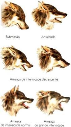 Comunicação gestual dos lobos.
