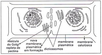Ilustração do Complexo de Golgi