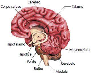 Órgãos do encéfalo humano.