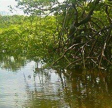 O solo dos manguezais é lodoso, salgado, rico em nutrientes e com pouco oxigênio.