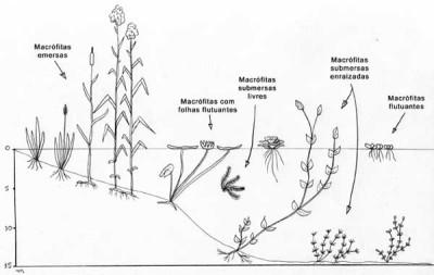 Esquema da distribuição de algumas macrófitas em um ambiente aquático. Fonte: http://www.ufscar.br/~probio/info_macrof.html