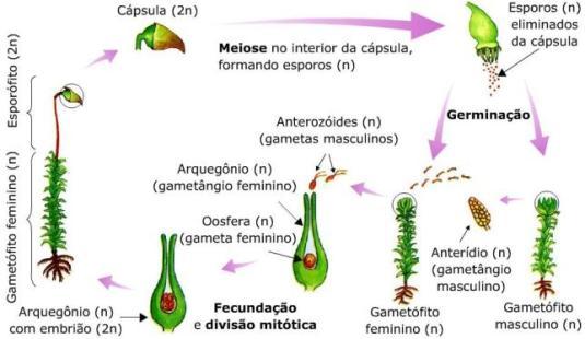 https://brasilescola.uol.com.br/upload/e/image/musgo2(3).jpg