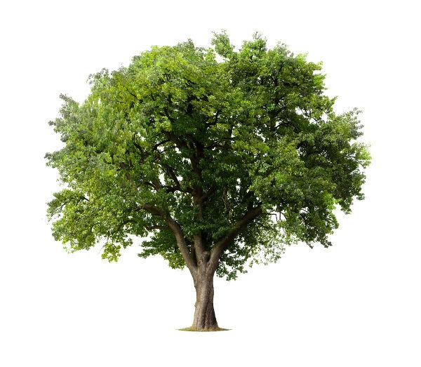 As árvores possuem caule do tipo tronco, e na parte superior observa-se sua copa.
