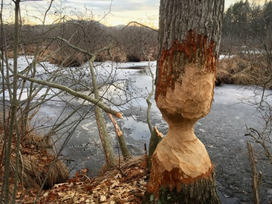 Evidence of beaver in Lawrence Swamp.