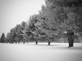 Line of trees in snow — copyright Trace Meek